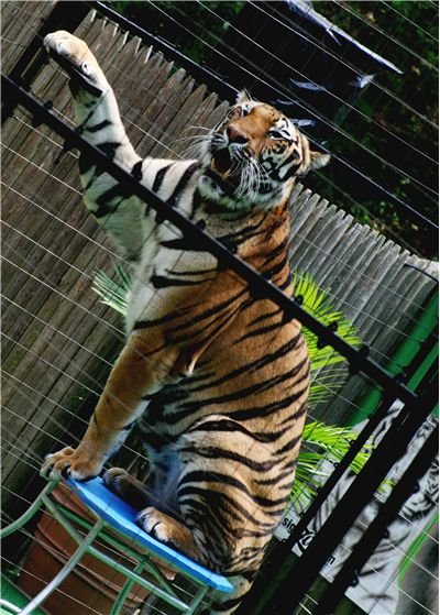 Picture Of Tiger Performing Tricks